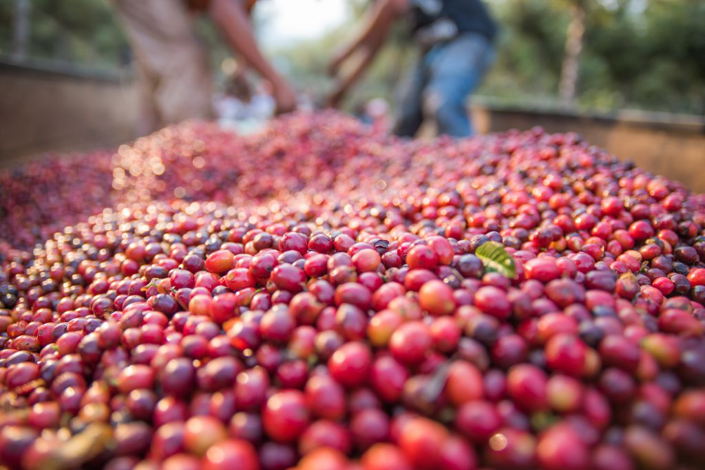 factors that affect coffee quality - plant